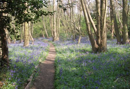 Bluebells in Pound Wood