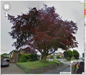 Copper beech, in all its glory | Google Maps
