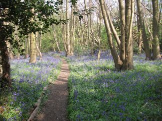 Bluebells in Pound Wood | Terry Barclay
