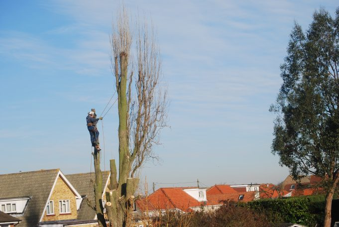Thundersley Poplar Trees | Ian