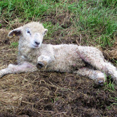 Leicestershire Longwool lamb | Lynda Manning