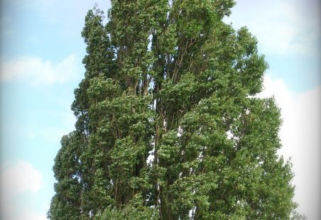 Thundersley Poplar Trees