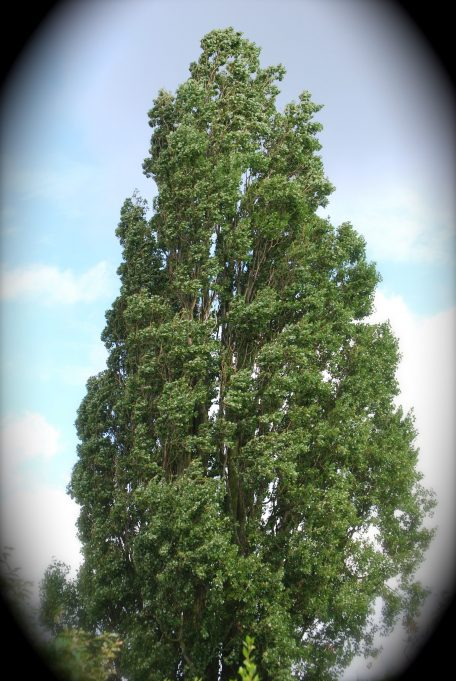 A glorious poplar in summer | Ian