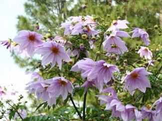 Dahlia Imperialis | Shu Suehiro - Own work CC BY 3.0