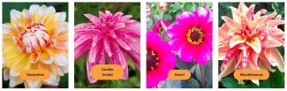 Dazzling Dahlias at HOFS | National Dahlia collection