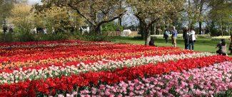 Keukenhof | Tulips in Holland