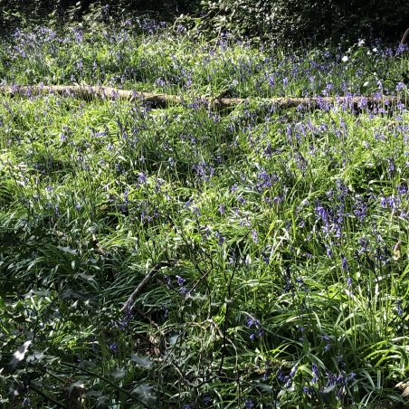 In season you will find Bluebells. | Graham Cook