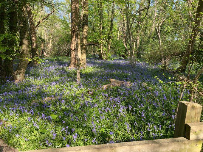 The fragrant bluebell {Hyacinthoides non-scripta}